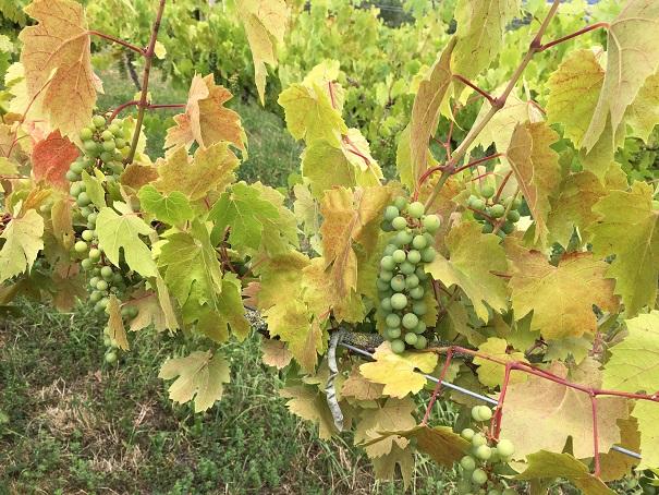 Des raisins magnifiques et un temps idéal